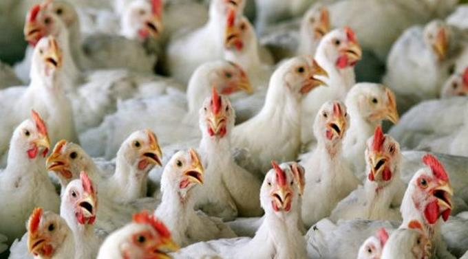 Dejen de besar a los pollos, piden las autoridades sanitarias de Estados Unidos