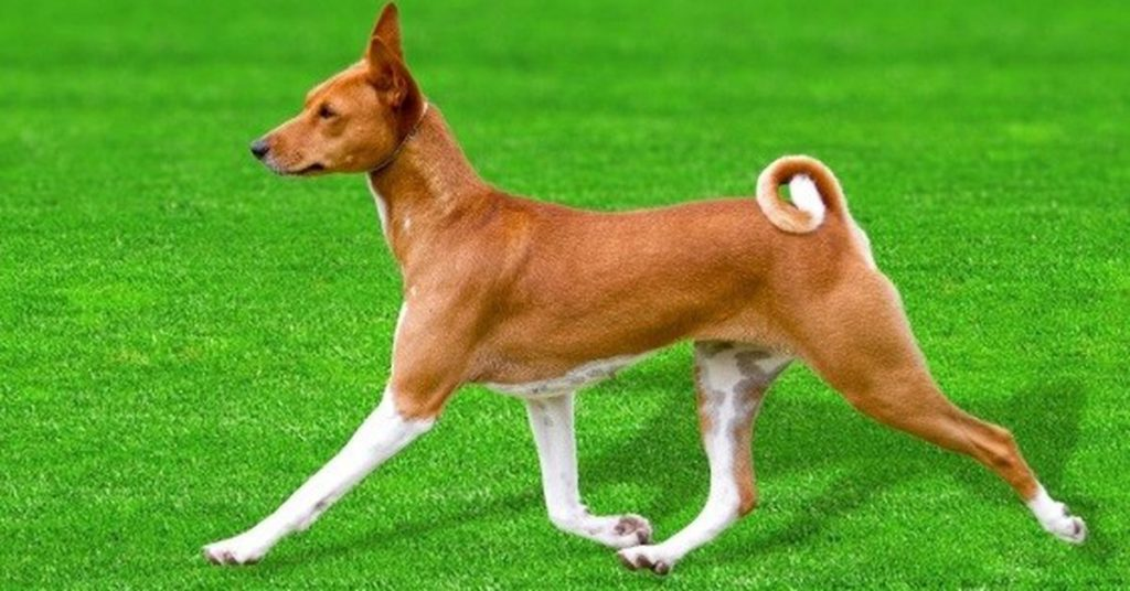 Science.  The dog genome that does not bark informs canine development