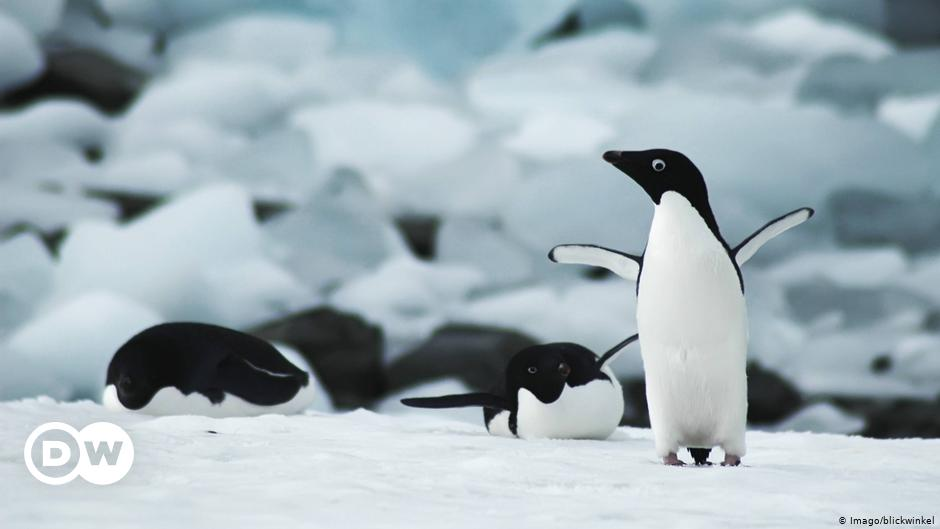 Microplastics found in penguins in Antarctica |  Science and Ecology |  DW