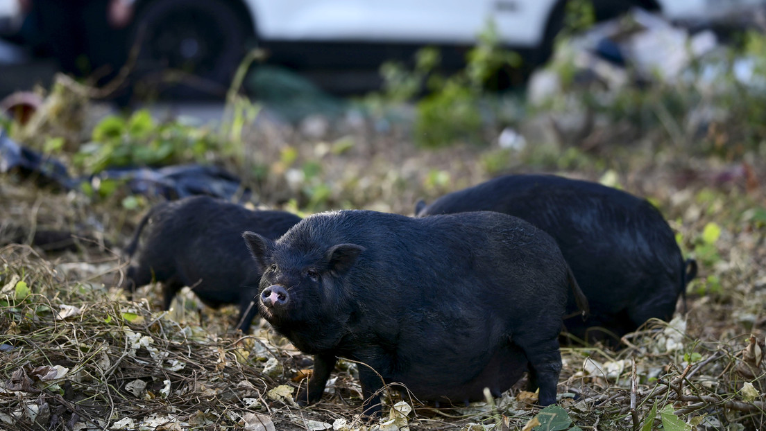 One study estimates that all of the world's wild boars produce the same carbon dioxide as 1.1 million cars a year