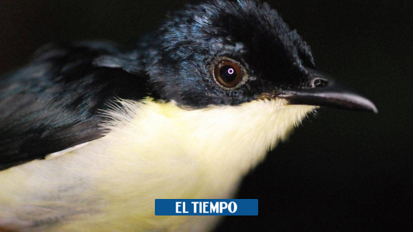 They discover a new species of birds in the forests of Papua - Environment - Life