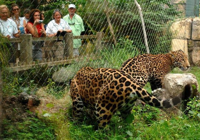 Hombre resultó herido por jaguar tras cruzar barrera y burlarse del animal